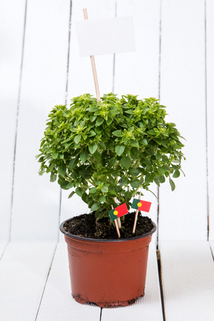 st  joseph: Ocimum minimum plant over a white wooden background and a portuguese flags. Stock Photo