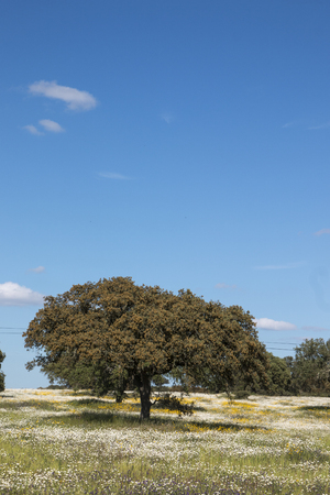 Typical view of Spring landscape in Alentejo with white daisies and holm oak trees. Stock Photo