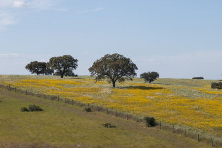 Typical view of Spring landscape in Alentejo with yellow daisies and holm oak trees.
