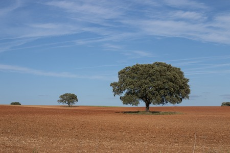 View of lonely holm oak trees in a plowed field on Alentejo region, Portugal.