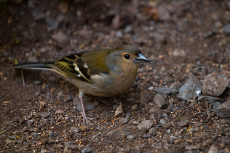 Close up view of a Common Chaffinch (Fringilla coelebs) bird. Stock Photo