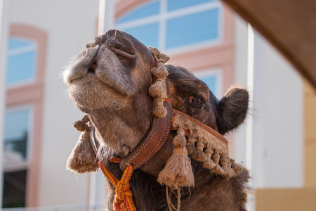 Close view of a camel head in medieval festival. 版權商用圖片