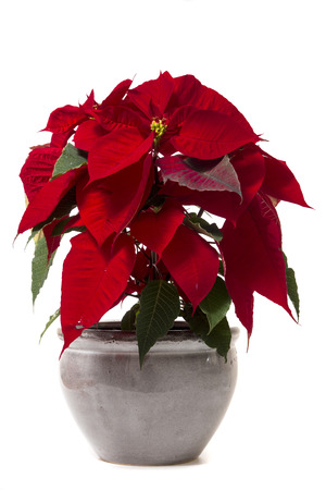 美しいポインセチア(ユフォビアプルケリマ)の花は、白い背景に隔離されています。