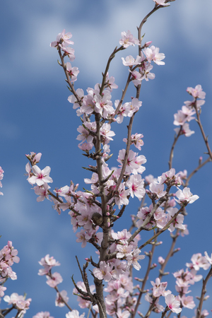 Beautiful almond trees on the countryside, located on the Algarve region, Portugal.