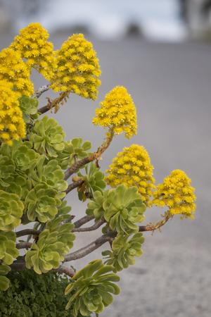 Close view of a beautiful aeonium (Aeonium simsii) succulent, commonly known as Tree Houseleek. Stock Photo