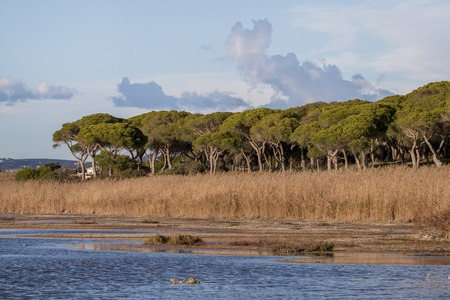 Marshland lake with many pine trees and tall grass growing in the margins. Foto de archivo - 96804312
