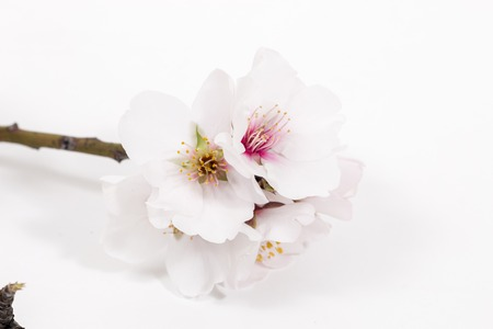 almond tree branch isolated on a white background. 版權商用圖片