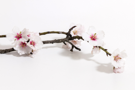almond tree branch isolated on a white background. Stockfoto