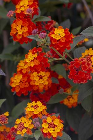 Close up view of the beautiful Lantana camara flower.