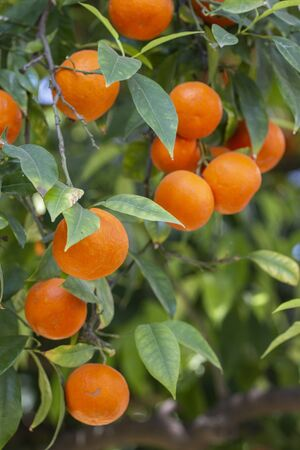 Close up view of a branch of orange fruits hanging on a tree.
