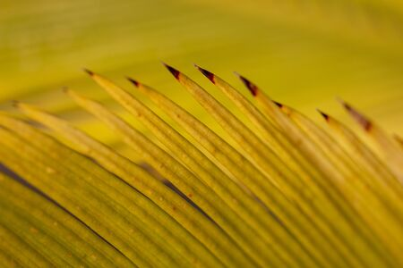 Close up view of an yellow dried abstract macro from palm tree. Stock Photo