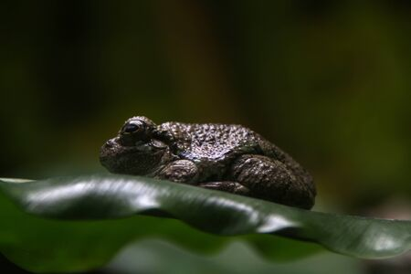 Close up view of a Gray treefrog on leaf.