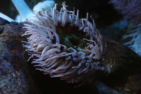 Close up view of a sandy anemone (Bunodactis reynaudi).