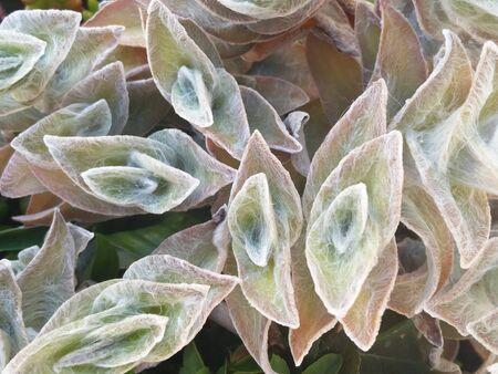 View of the beautiful Cobweb Spiderwort (Tradescantia sillamontana) succulent plant.