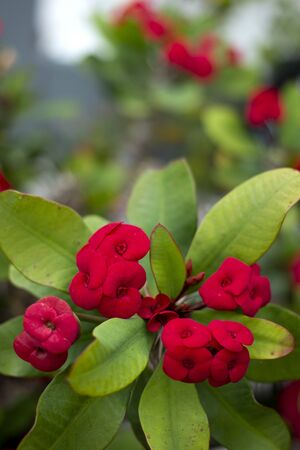 Close up view of the beautiful  crown of thorns (euphorbia milii) flower.