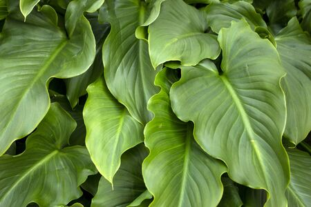 Close up view of calla lily flower leaves.