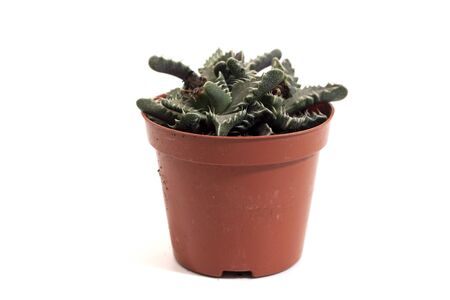 Close up view of a tiny cactus succulent plant isolated on a white background. Stock Photo