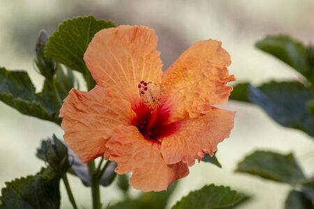 Close up view of a tangerine Hibiscus flower on a park.