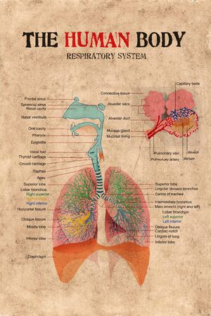 human body respiratory system diagram on old paper weathered.