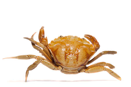 Close view detail of a orange crab isolated on a white background. Stockfoto