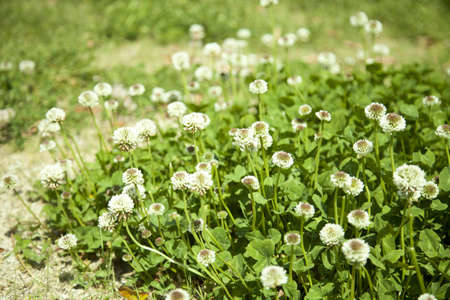 dutch clover: Corolla of a white flower