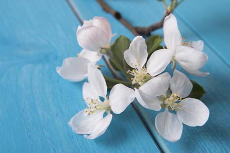 membrillo: membrillo floración Foto de archivo