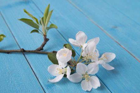 membrillo: floración de la flor de membrillo Foto de archivo