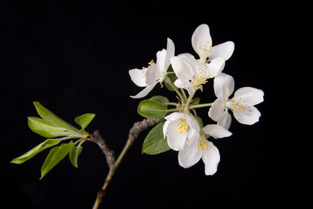 germinate: quince flower on black background Stock Photo
