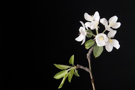 membrillo: flor de membrillo sobre fondo negro Foto de archivo