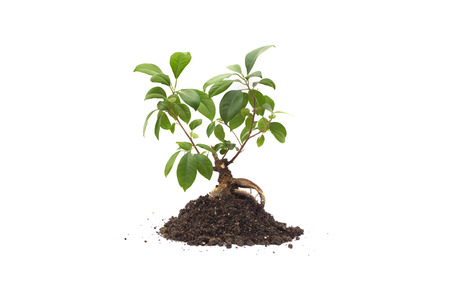 isolated bonsai tree on soil