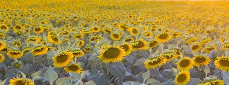panoramic image of a field of sunflowers at sunset Imagens