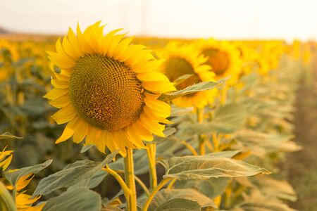 sunflower field and sunset, natural environment Imagens