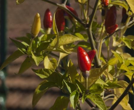 Red chili pepper plant, closeup Stock Photo