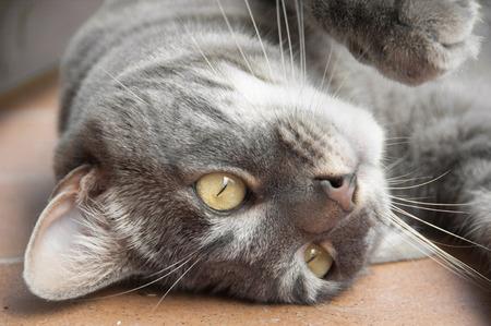 cabeza abajo: Cierre de gris atigrado gato acostado boca abajo Foto de archivo