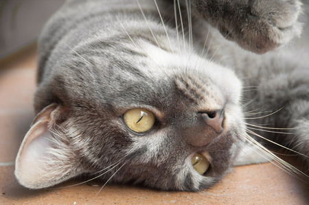 Close up of gray tabby cat lying upside down