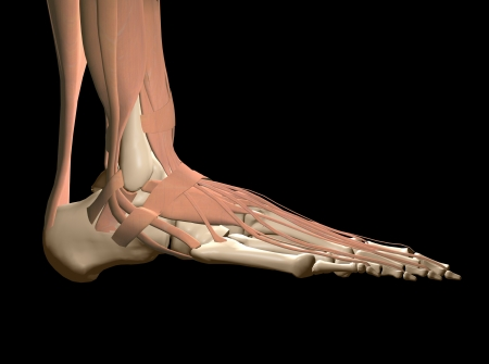 foot anatomy Stock Photo - 16385754
