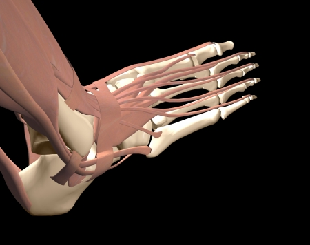 foot anatomy Stock Photo - 16385749