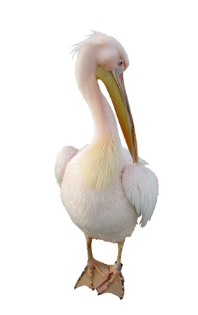 pelican preening photo