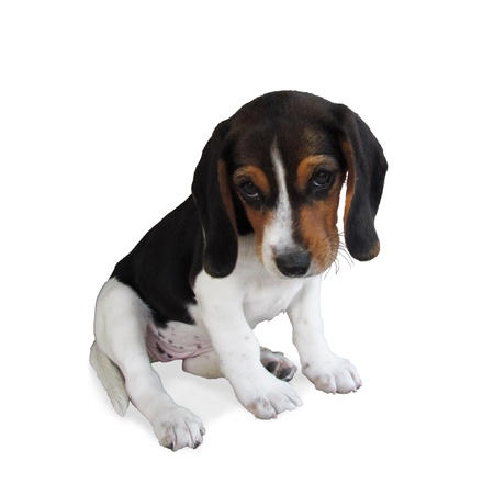 cute beagle puppy with shy expression isolated on white Stock Photo - 21454257