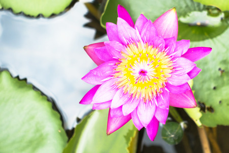 ornamental garden: Lotus is water lily that can use for alternative medicine and ornamental garden