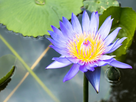 Lotus is water lily that can use for alternative medicine and lotus is water lily that can use for alternative medicine and ornamental garden stock photo mightylinksfo