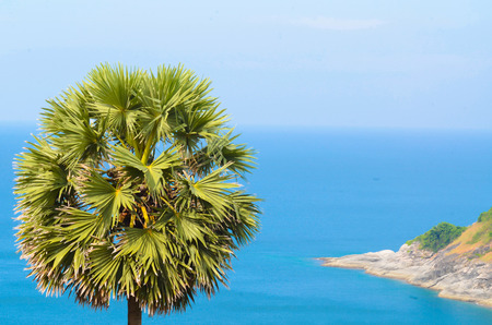 toddy palm: Toddy palm Tree and sea.