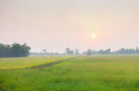 summer background: The fog covers the rice field with sunlight . Rice cultivation for the staple food in Asia. Stock Photo