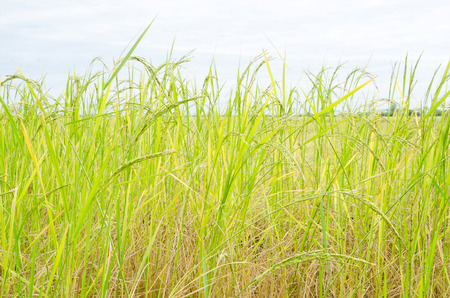 staple food: Rice cultivation for the staple food in Asia.