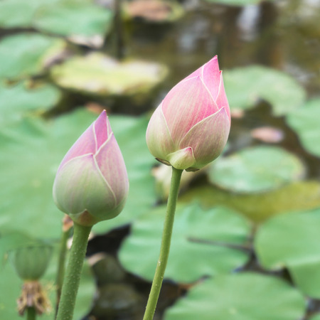 ornamental garden: Lotus  is water lily that can use for alternative medicine and ornamental garden.