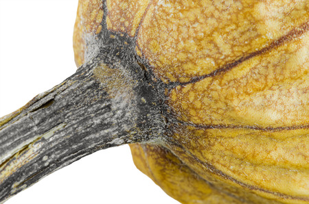 dried gourd: Withered of zucchini dried isolated on white background, close-up shot.