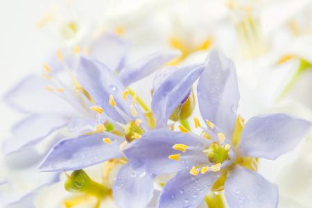 Purple Lignum vitae flowers in South East Asia, selective focus.