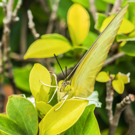 poised: Green butterfly poised on tree in the garden.