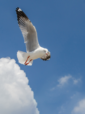 Seagull is flying Stock Photo