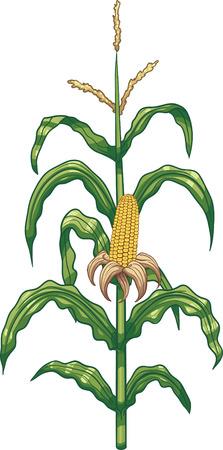 maize plant: Planta de ma�z de la historieta. Vector de im�genes predise�adas ilustraci�n con gradientes simples. Los elementos est�n en capas separadas para facilitar la edici�n.